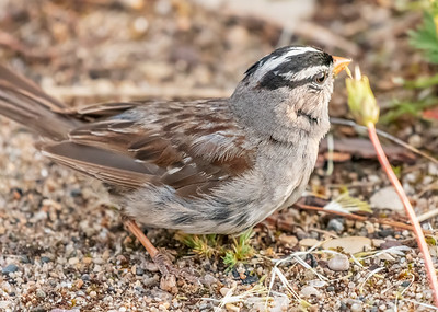 WHITE-CROWNED SPARROW, NEAR THE PRINCE OF WALES FORT, CHURCHILL, MANITOBA, CANADA. WITH SPORTS LEISURE VACATIONS.