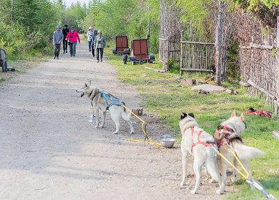 WAPUSK ADVENTURES SLED DOGS, NEAR CHURCHILL, MANITOBA, CANADA. WITH SPORTS LEISURE VACATIONS.