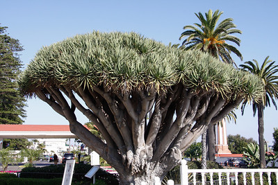 The Dragon Tree.