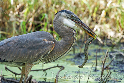Great Blue Heron with Water Snake