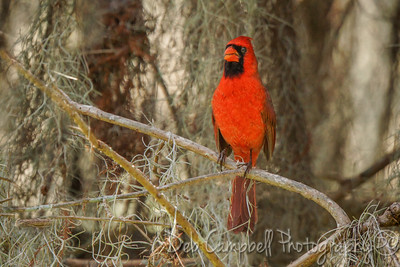 Norhern Cardinal in the Spanish Moss