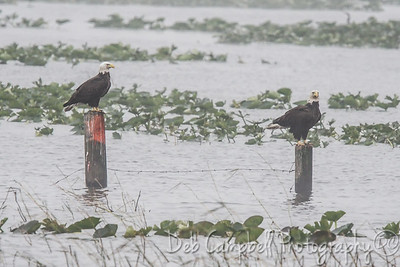 Bald Eagles at Lake Kissimmee