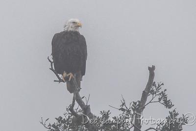 Bald Eagle in the Fog