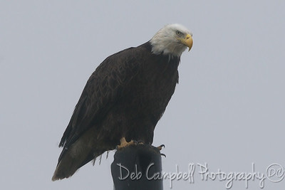 Bald Eagle in the Fog
