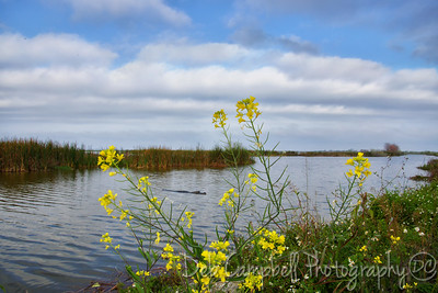 Lake Apopka, Wildflowers and a Gator