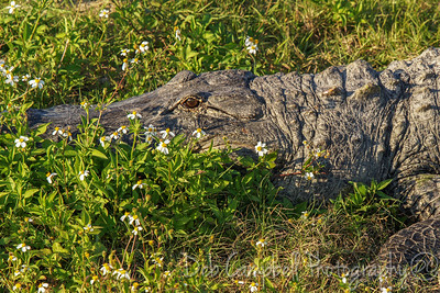 Alligator in the Wildflowers