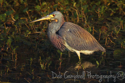Tri Colored Heron in Breeding Plumage