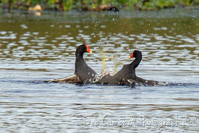 Mating Moorhens