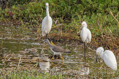 Greater Yellowlegs, Snowy Egrets and a Great White Egret