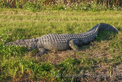 Big ole Gator