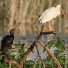 Glossy Ibis and White Ibis