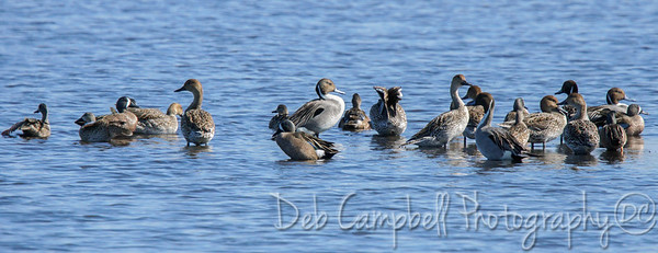 Northern Pintails and Blue Winged Teal Ducks