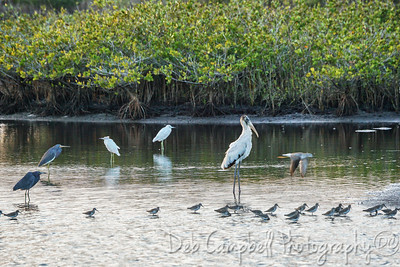 Wood Stork and Bird Variety