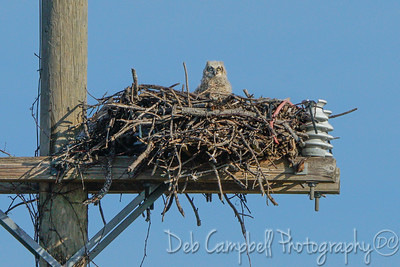 Great Horned Owlet in nest