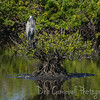Great Blue Heron on Mangrove Tree