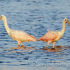 Roseated Spoonbill