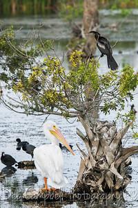 White Pelican with Anhinga