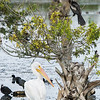 White Pelican with Anhinga