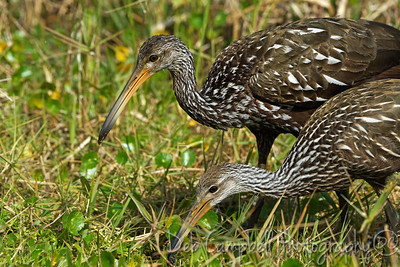Limpkin with chick