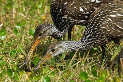 Limpkin feeding chick