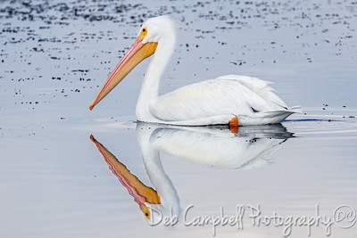 White Pelican Reflections