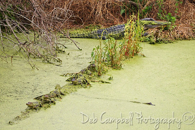 Alligator Mom with Babies