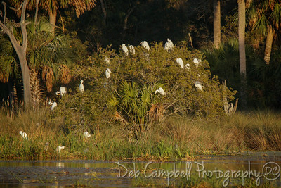 Tree of Snowy Egrets
