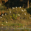 Tree of Snowy Egrets