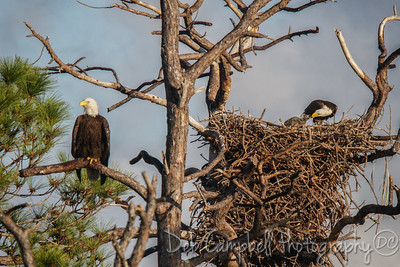 American Bald Eagle Family