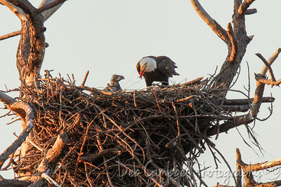 Eagle mom feeding Chick