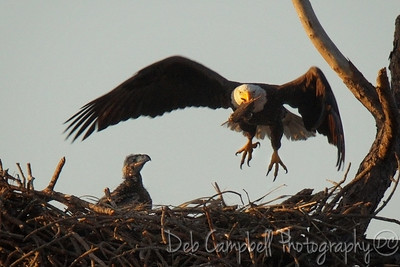 American Bald Eagle with Chick