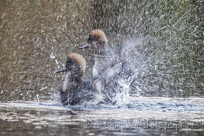 Merganser Splash