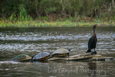 Turtles and a Cormorant
