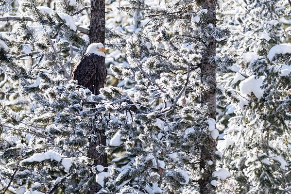 Hidden Eagle