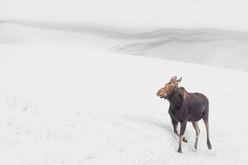 Runaway Moose