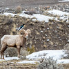 Bighorn Sheep with Magpie Bird