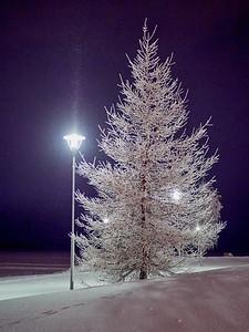 The white Larix at night