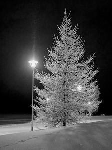 The white Larix at night bw