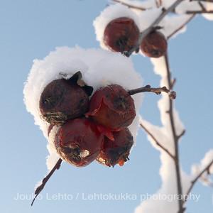 Talviomenat - Winter apples. Lumi. Snow. No. 021