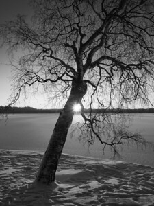 Birch with the sun  bw