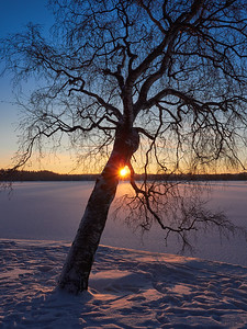 Birch with the sun