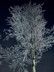 Frozen birch at night