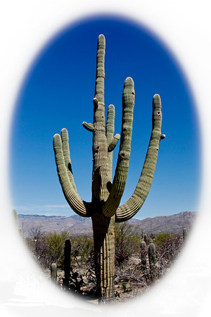 Saguaro cactus in the Saguaro National Park in the Sonoran Desert near Tucson, Arizona.  March, 2011.