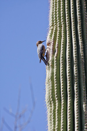 Bird on cactus at Arizona-Sonora Desert Museum just outside of Tucson, Arizona.  March, 2011.