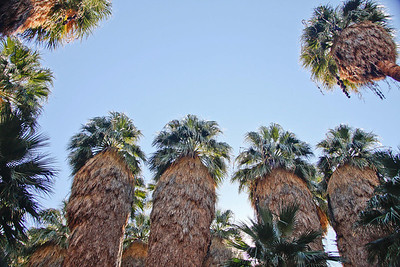 """Look up Rusty, way up!""  Palm trees in Indian Canyons.   Feb, 2011."