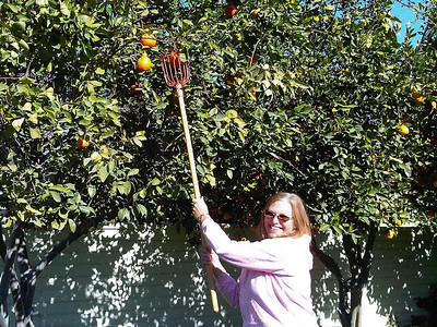 Carol picking fruit near cousins' Janice and Ron's house in Cathedral City (Palm Springs).  Feb, 2011.
