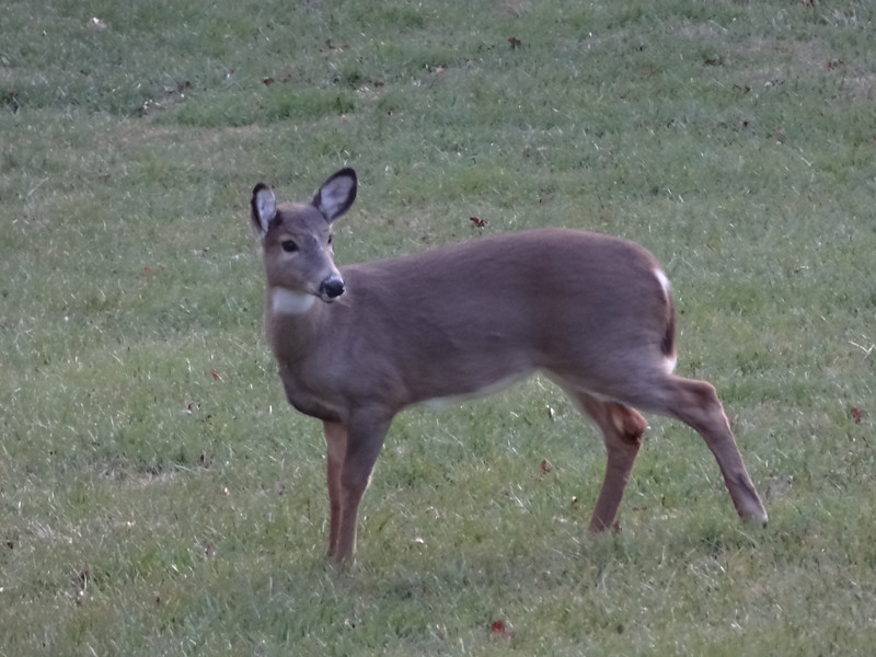 We had visitors each day on the front lawn.