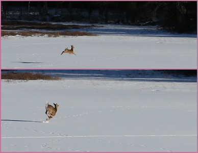Leaps and bounds across the snow.