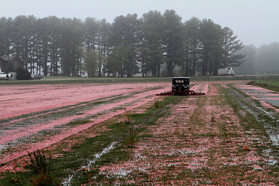 "Cranberries are ""cultivated"" once each season - the vines are separated from the floating berries."