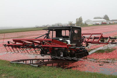 Leaving the cranberry field before re-entering for another pass.
